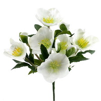 Christrosen Busch 6 Blüten 4 Knospen, L 18/25cm Helleborus, Schneerose