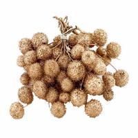 Platanen Früchte im Bund, Zweige mit bis zu 5 Bällen !!! gold